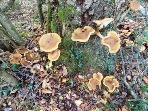 dscn1691-honey-fungus